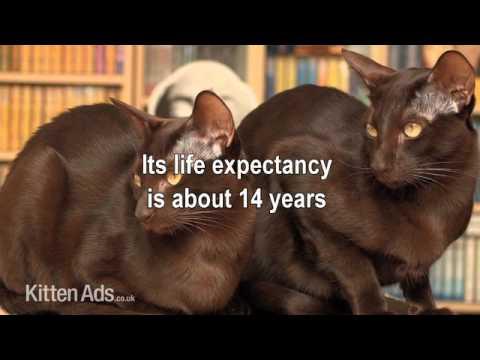 Kittenads breed guide to Havana Brown Cat