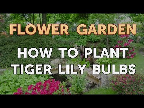 How To Plant Tiger Lily Bulbs