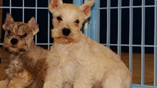 Miniature Schnauzer, Puppies, For, Sale, In, Raleigh, North Carolina, Nc, Lumberton, Kernersville, M