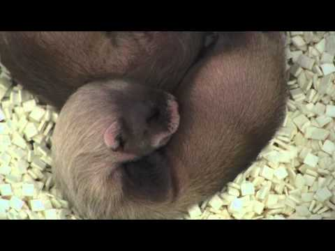 Endangered Black-footed Ferret Kits!