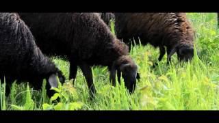 Купить овцу / барашка / барана в Московской области(, 2016-06-14T12:00:50.000Z)