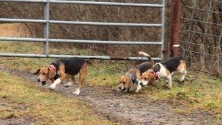 Skyview's Beagles  &   Heartland  Kennels  Rabbit Hunt