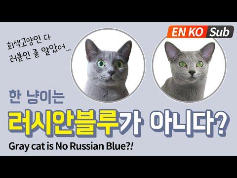 회색고양이 코렛고양이 vs 러시안블루 구분하기😍 / Comparing Gray Cats: Korat vs Russian Blue.