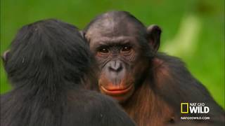 Repeat youtube video Sesso fra scimpanzè - Chimpanzees who have sex - Funny -