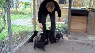 Puppies Dutch Shepherd X German Shepherd