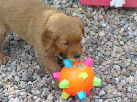 so-funny!-6-wk-old-puppy-attacks-giggle-ball...-vibrating-growls-lol!