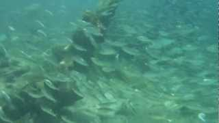 Snorkeling in Dry Tortugas National Park. School of Grey Snapper