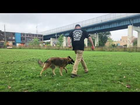 Dog Training: High Energy Belgian Tervuren, Dakota! Before/After Two Week Board and Train
