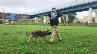 Dog Training: High Energy Belgian Tervuren, Dakota! Before/After Two Week Board and Train