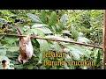 Jebakan Burung Trucukan Dengan Jerat Simpul Tali Salam  Mp3 - Mp4 Download