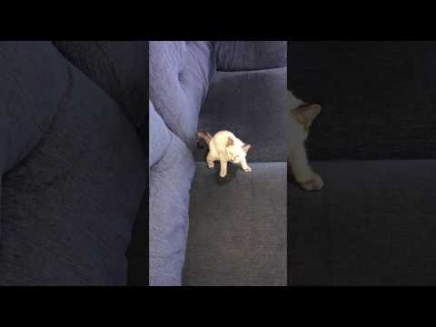 funny cat video. Siamese kitten trying to catch its tail.