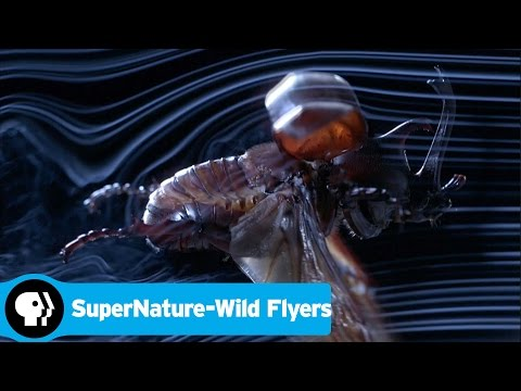 SUPERNATURE - WILD FLYERS | Beetle Flight | PBS