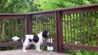 Bird Attacking Dog, A Cavalier King Charles Spaniel Puppy