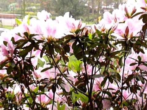 2011 0306淡淡的三月天 杜鵑花開在山坡上 - YouTube