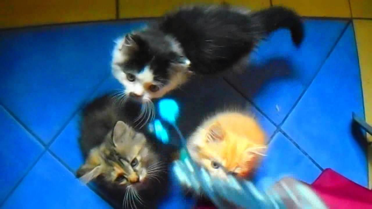 Gatos Angora Bebés. )