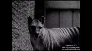 tigre de tasmania: el lobo marsupial.