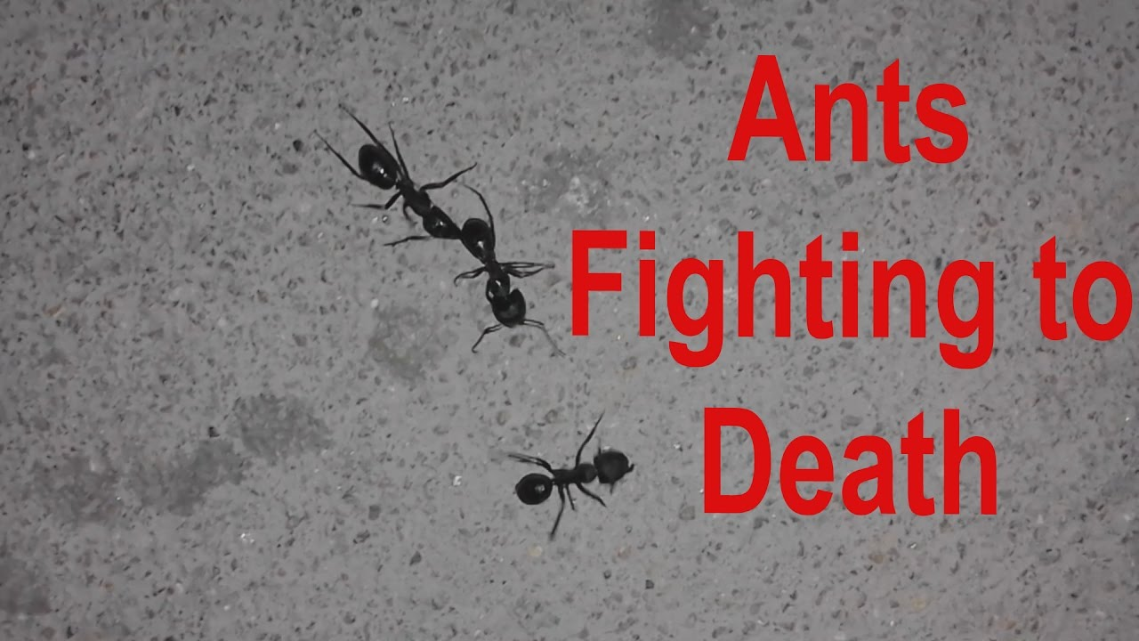 Black Ants Fighting Eachother To Death Ants Fight Youtube
