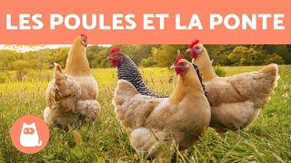 Download now Comment les poules font des oeufs MP3