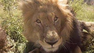 bongani-s-birthday-the-lion-whisperer