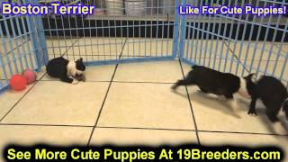 Boston Terrier, Chiots, Pour, Vente, En, Alberta, Canada, Provinces, La Colombie Britannique, Manito