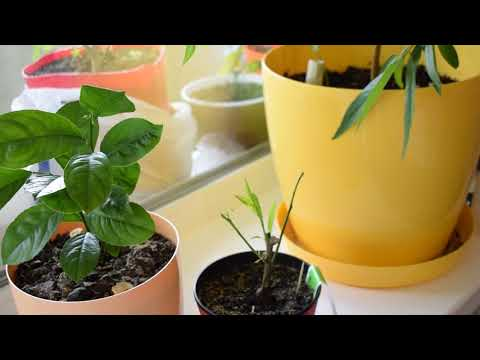 Как спасти лимон, апельсин, мандарин и другие цитрусы