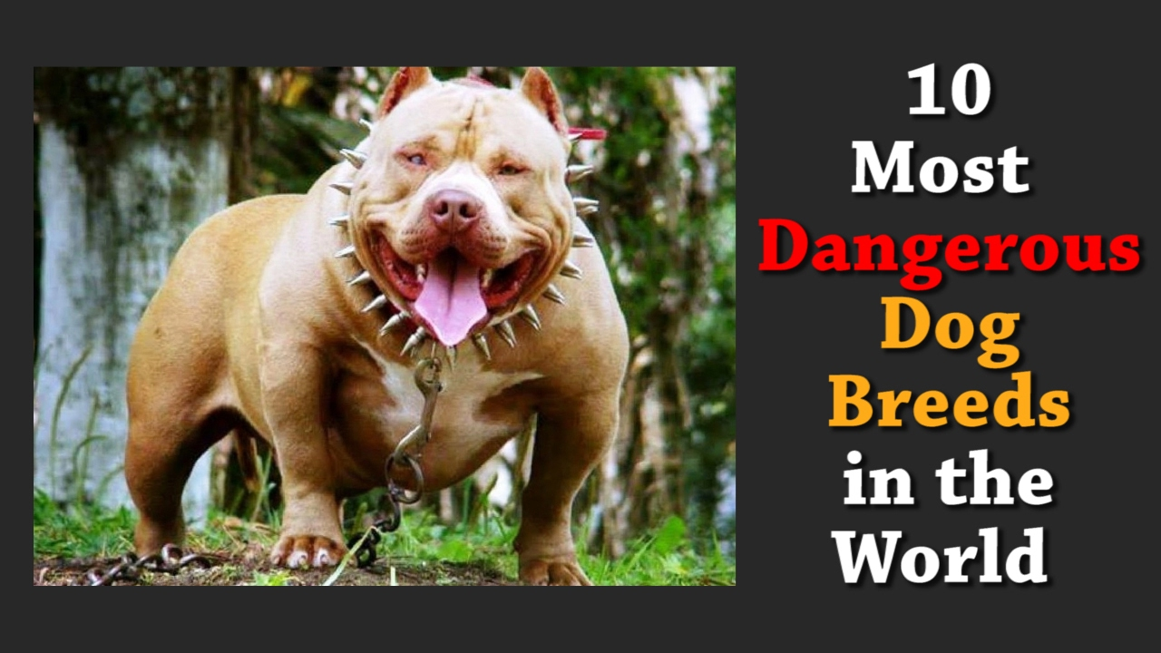 Most Aggressive Dog Breeds