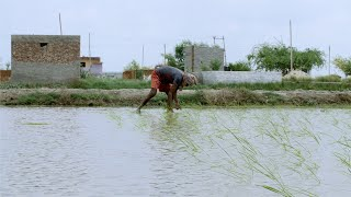 Indian farmer planting rice in the rainy season - Paddy field in village