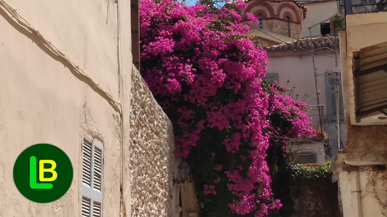 Ovo cveće je praznik za oči – BUGENVILIJA (BOGUMILA)