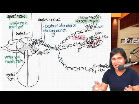 โครงสร้างและหน้าที่ของไขสันหลัง (spinal cord)