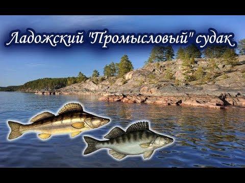 Ладожский промысел. Судак. Русская Рыбалка.