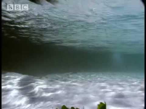 Boulders Beach penguins - African Penguins - BBC wildlife