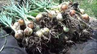 When & How to Harvest and Cure Onions