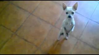 танцующая собака.flv