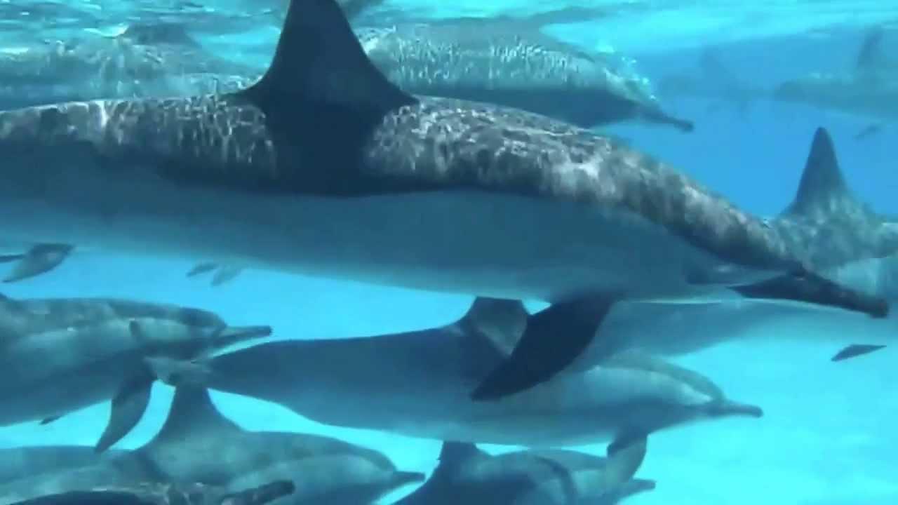 Nager avec les dauphins en libert youtube - Nager avec les dauphins en piscine ...