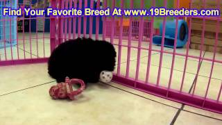 Toy Poodle, Puppies, For, Sale, In, Allegheny, Pennsylvania, PA, Bucks, Chester, County, Berks, Dela
