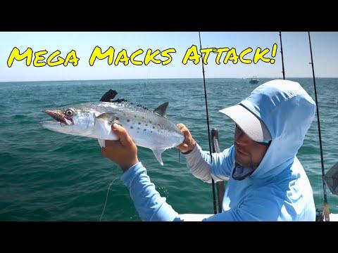 Huge Spanish Mackerel Frenzy At Egmont Key - Tampa Mackerel Fishing