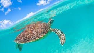 宮古ブルーの中を泳ぐホヌさん(アオウミガメ)。 一緒に泳いだり、息継...