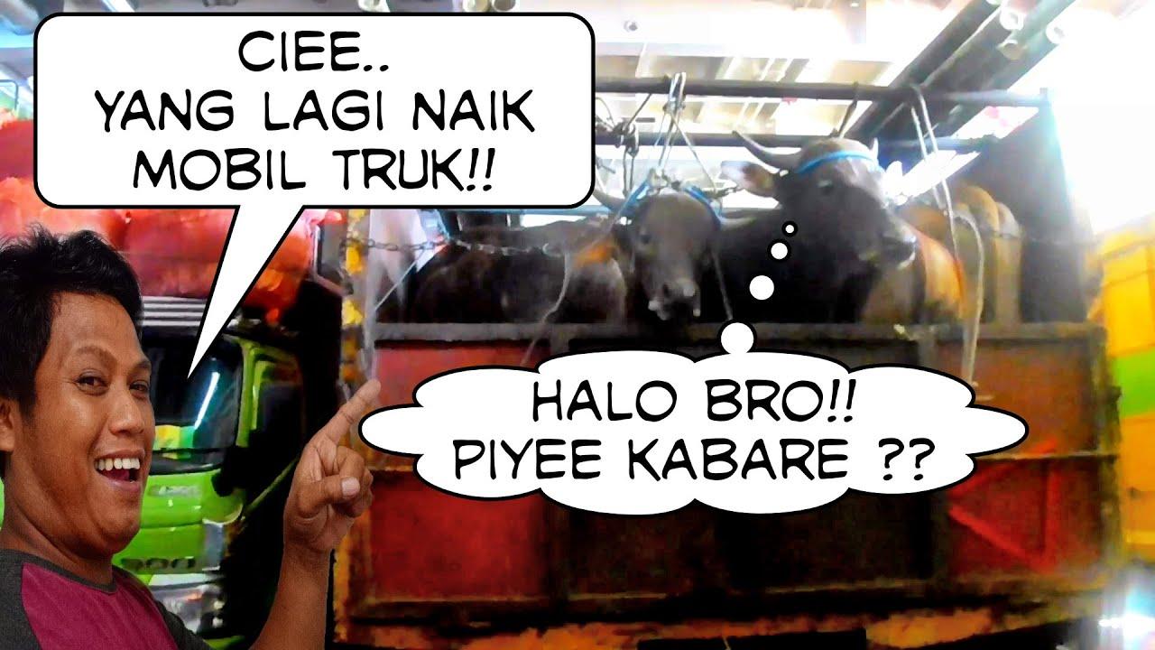 Mobil truk bermuatan hewan ternak sapi, entah mau di bawa kemana sapi sebanyak itu!!