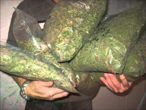 Las Mejores Plantas De Marihuana