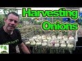 Harvest And Dry Homegrown Onions 👍 - When And How!😎