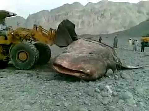 Big fish found in india youtube for Youtube fishing videos big fish