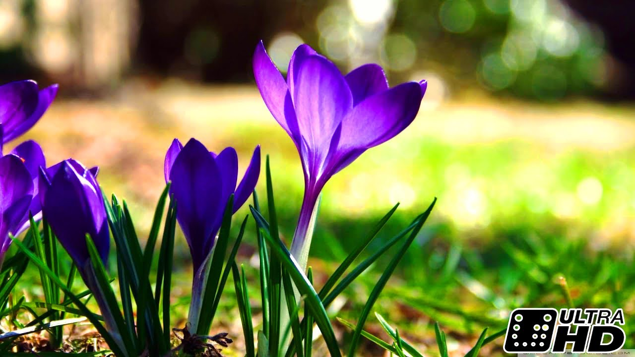 Crocus Slow Motion Shooting Time Lapse The First Spring Flowers