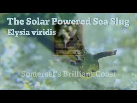 The Solar Powered Sea Slug