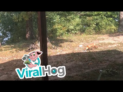 Cat And Fox Face Off Over Food || ViralHog