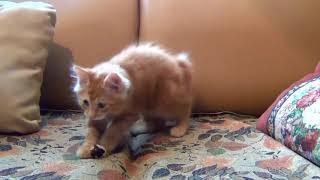 Kitten. jumping kitten. playing kitten. котёнок. прыгающий котенок. играющий котенок