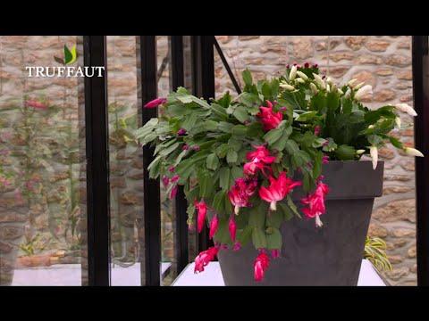 Comment Rempoter Un Cactus De Noel Jardinerie Truffaut Tv Youtube