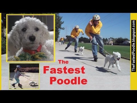 The Fastest Poodle -- Born To Run ( An Amazing Cute Fast Dog Skate Mushing )