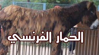 الحيوانات - الحمار الفرنسي Poitou
