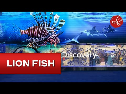 Lionfish in Discovery Store | Dubai Mall