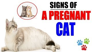 Signs Of A Pregnant Cat About To Give Birth | How Do You Know Your Cat Is Pregnant | Cat Pregnant